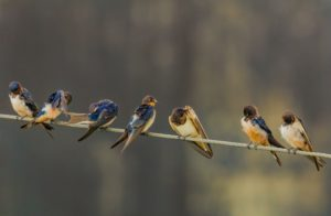 tree swallows sitting on a wire