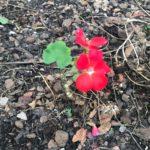 A flower blooming in rocky soil